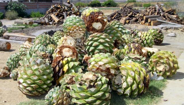Через 10 лет созревшие плоды весят 100 кг и собирают  их только мужчины