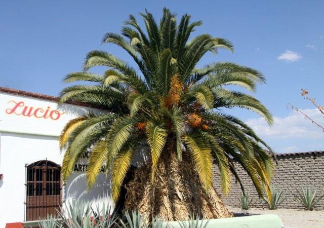 С пальмы  собирают гусениц, которых добавляют для вкуса и закуса)