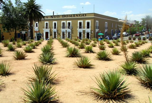 На площади сокало растет много кактусов