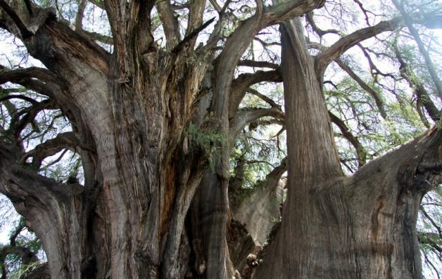 Вверху ствол распадается на ветви - дереву не хватает воды(