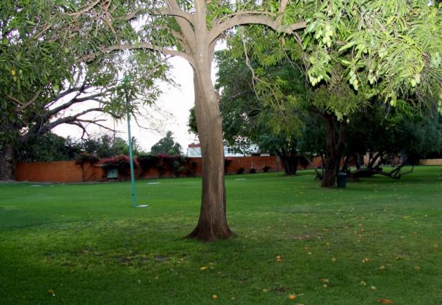 В Теуантепеке много манговых деревьев