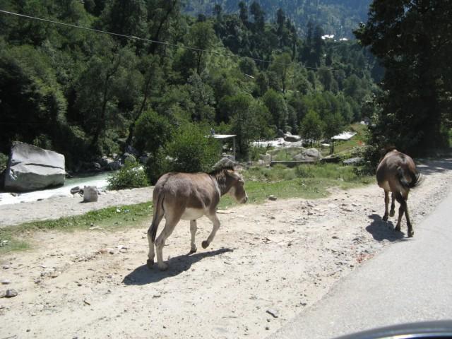 Почти кони. Долина Куллу, где-то в районе Наггара. Химачал