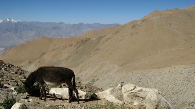 Не совсем конь. По всем приметам даже WILD ASS (их там правда так зовут!) Дорога к перевалу Кхардунг Ла из Леха