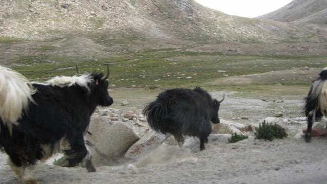 яки в Ладакхе. Точнее Зо (ладакхский вариант яка) скачут по камням у дороги в районе перевала Zoji La на пути к озеру Пангонг