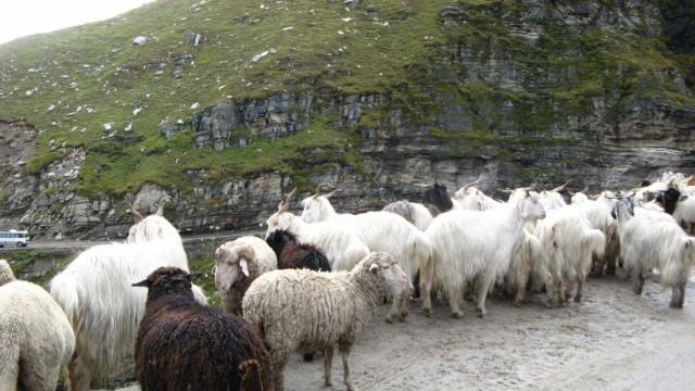 """кАзлы и бараны в районе перевала Rhotang в Химачале. Что интересно, и тех и других, по кр мере в виде мяса, одинаково зовут """"mutton"""""""
