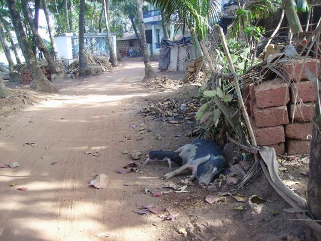 кабано-мама и сын-свин в Арамболе, Гоа