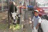 Мумбаи. Корова, которую можно покормить за деньги
