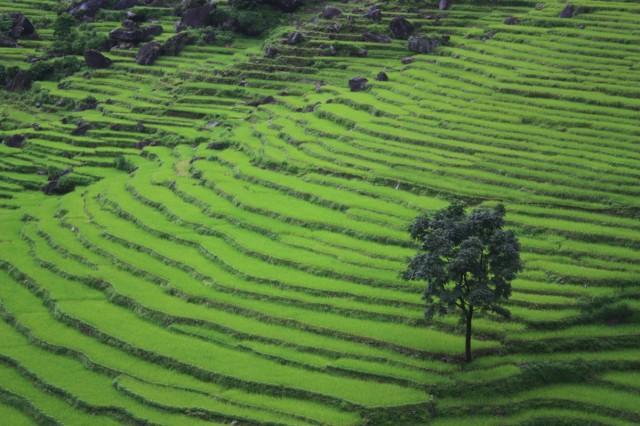 Рисовые терасы