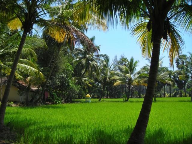 возле рисового поля