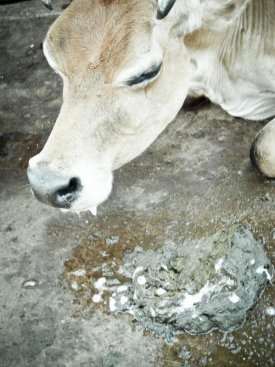и голодные коровы