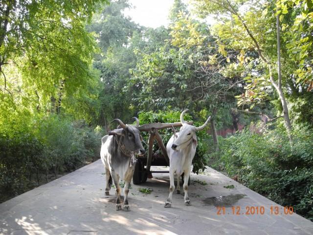 Месные буйволы