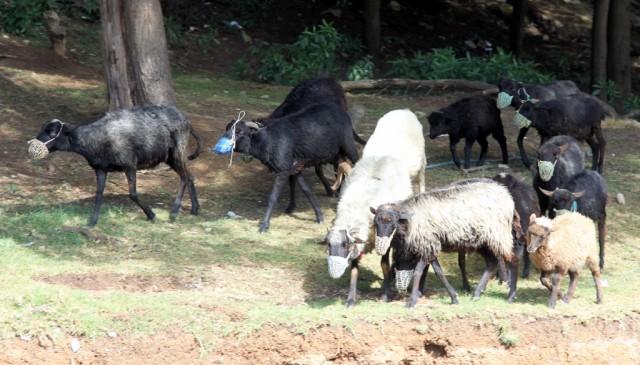 .. овцы в масках