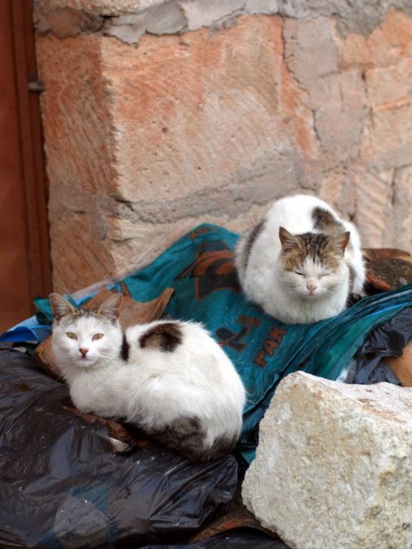 Но вообще кошки здесь живут по правилам охоты. Днём надо спать. Поэтому в сонном и дремотном состоянии проводят большую часть видимого людям времени.