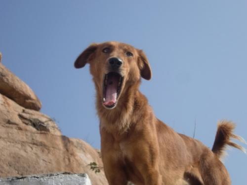 наш охранник от обезьян - собак