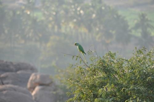 наш Гошик в живой природе (Ожереловый попугай Крамера)
