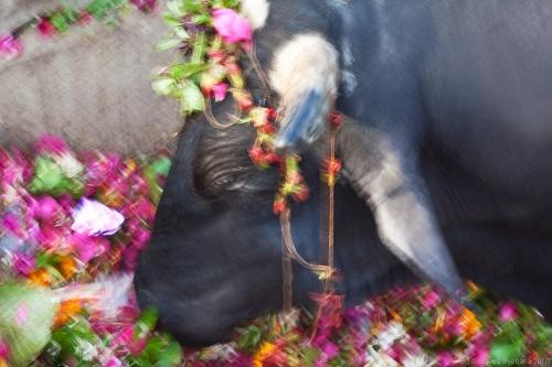 Священная корова на Дасашвамеде