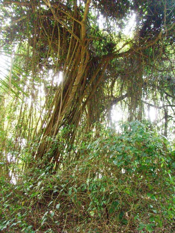 дереву 500 лет