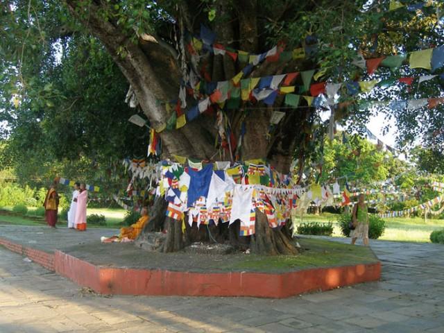 Святое дерево бодхи.