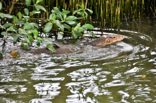 А вот нам встретился плывущий ящер