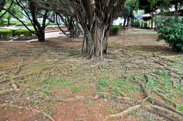 Дерево с забавными корнями в парке