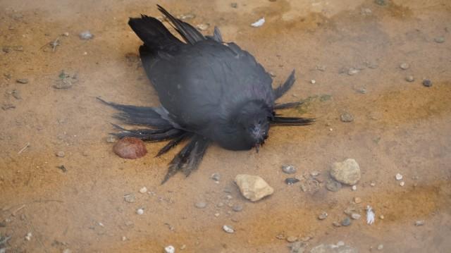 ластоногий голубь