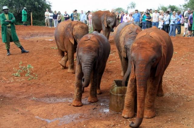 Слонята - сироты в Найроби