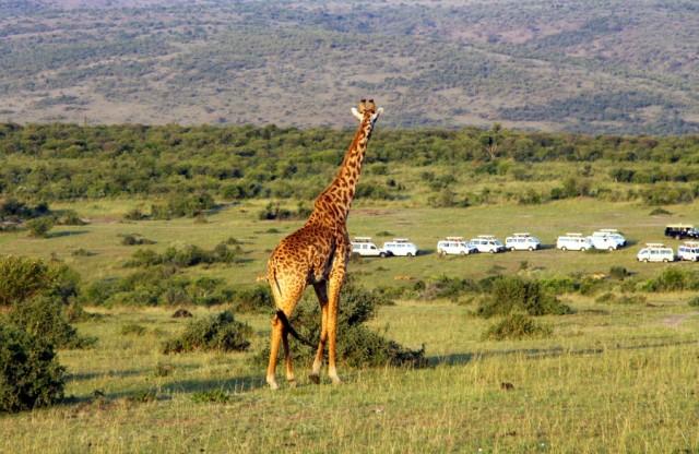 Стая минибасов смотрит на семью львов, а мы на жирафа