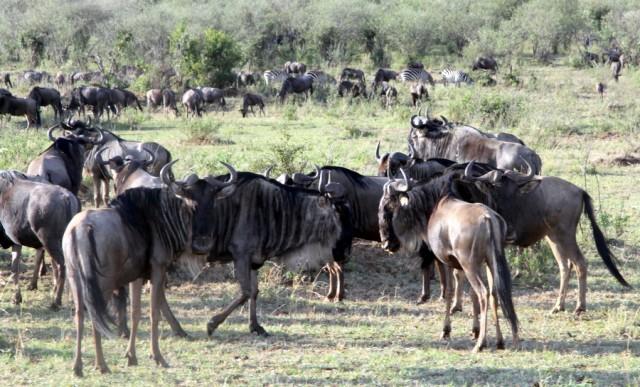 Большая тусовка антилоп гну