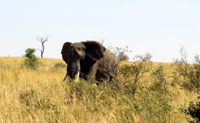 У слонов удивительная память