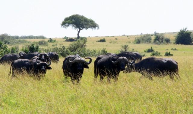 Любознательные буйволы