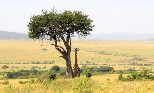 Влюбленный одинокий жираф