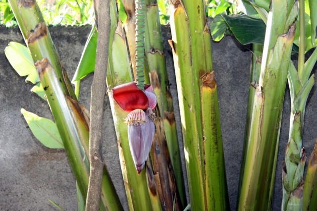 Цветущий банан