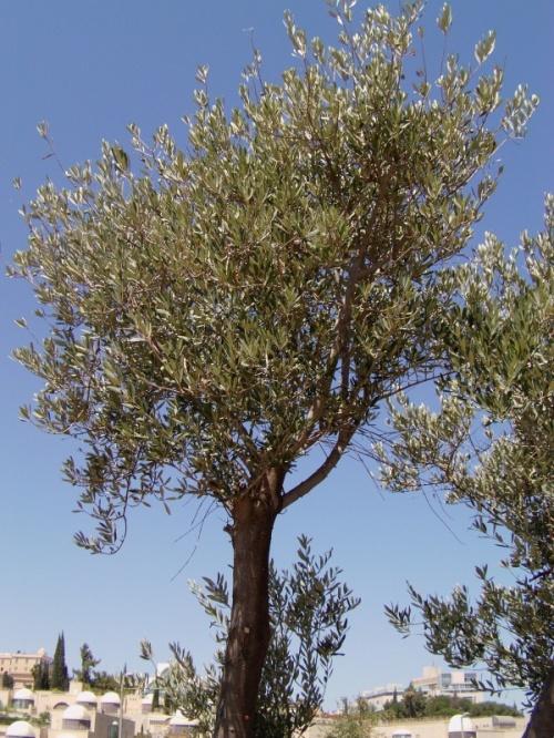масличное деревце