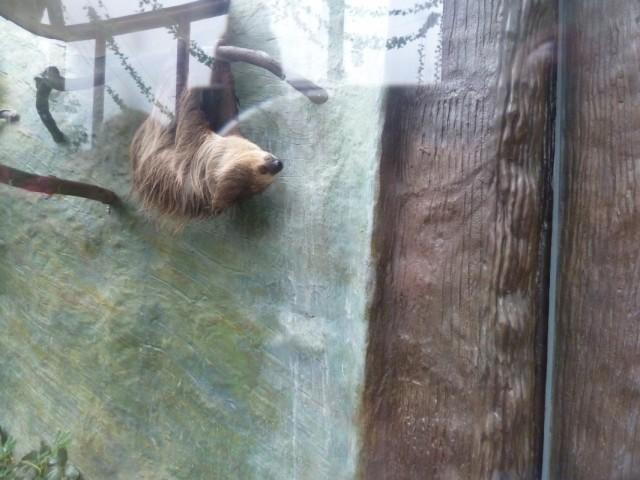 ленивец. получился плохо - вспышка может напугать!