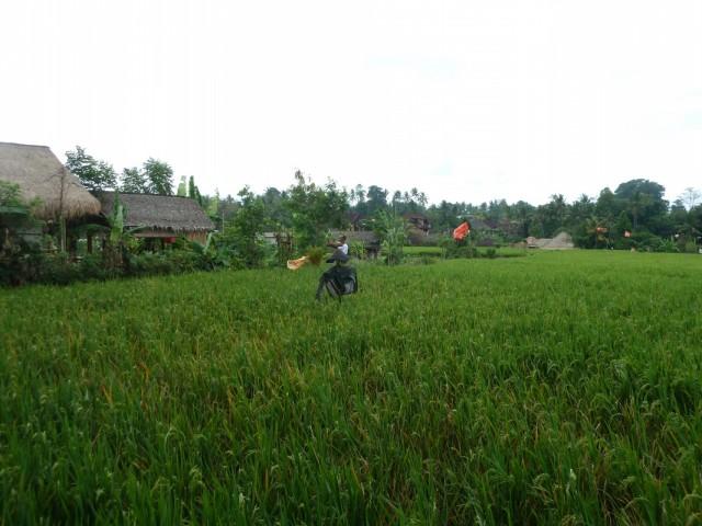 Расти рис большой и маленький