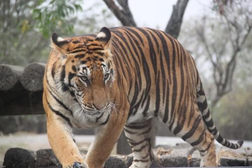 Тигри в Сафари Ворлд