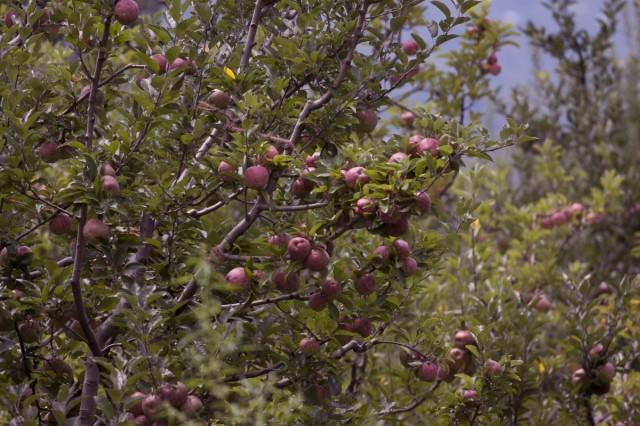 В Наггаре был неплохой урожай яблок