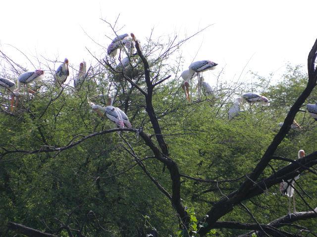 Бхаратпур.Заповедник птиц.