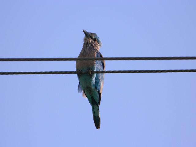 Так вот ты какая,синяя птица.Они её,кажется,блювингер называют.