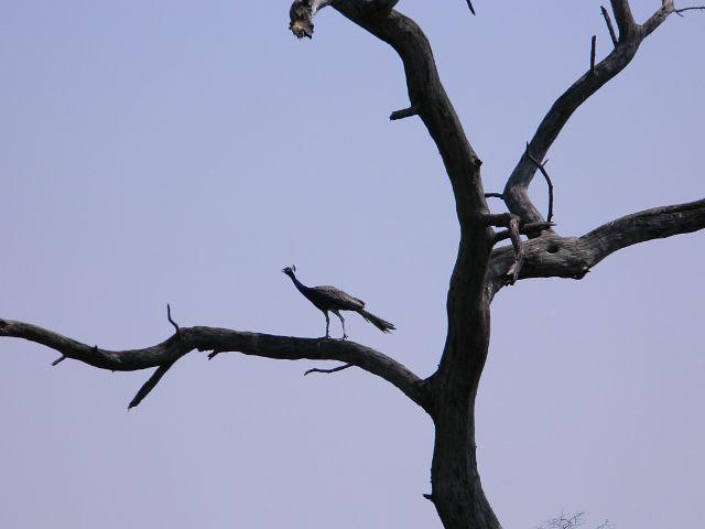 Павлин на сухом дереве.