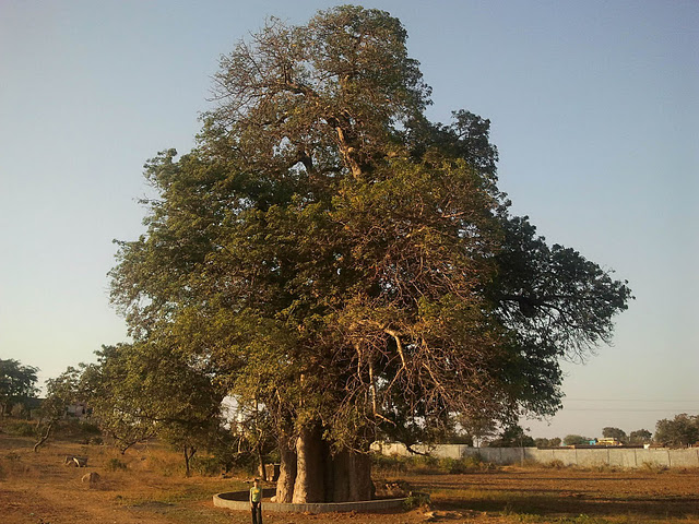 Огромное дерево, наверное это баобаб