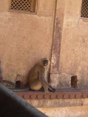 Орчха - город обезьян