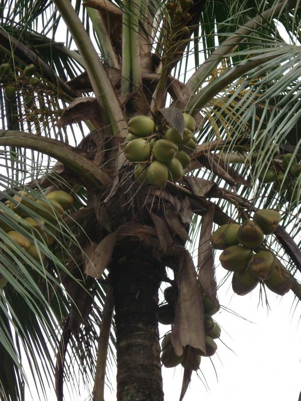 пальма кокосовая