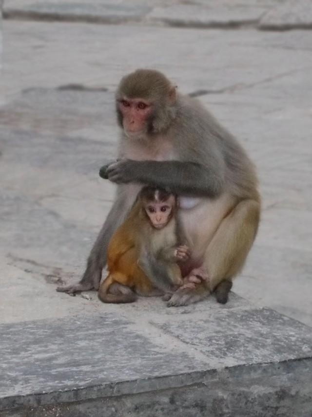 На ступе живут обезьяны. Вот, например, мать и дитя.