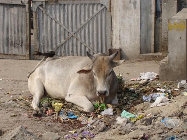 это - корова, она - лежит