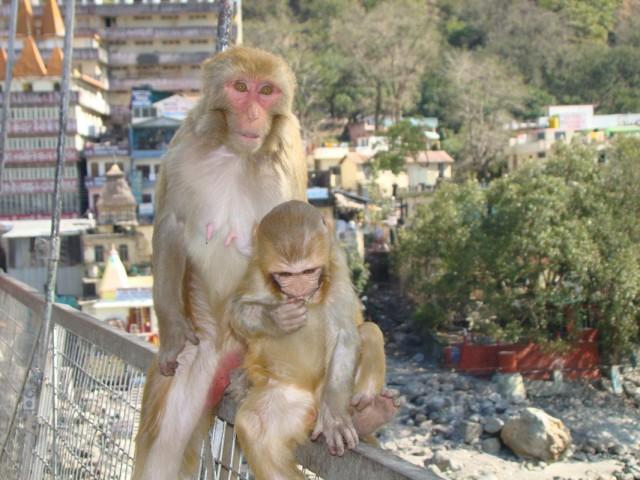 обезьянки ришикеша