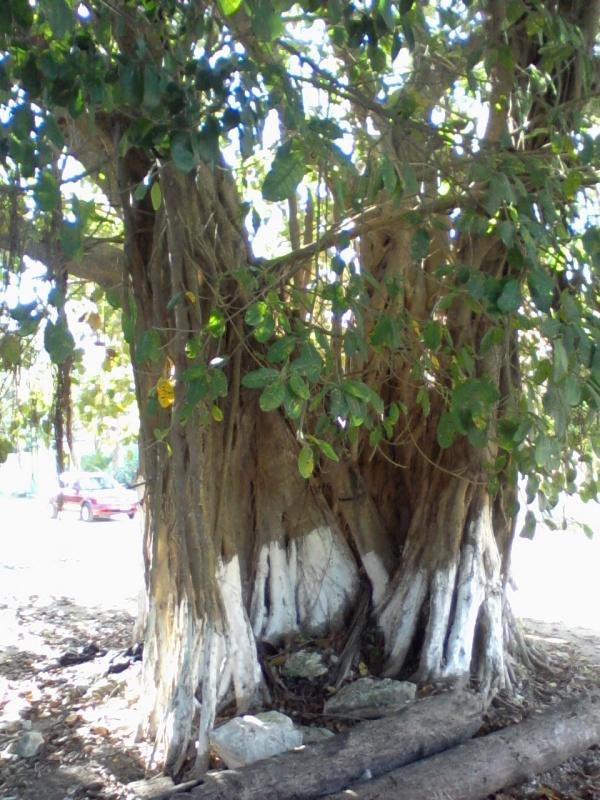 В Мексике тоже есть правильные святые деревья