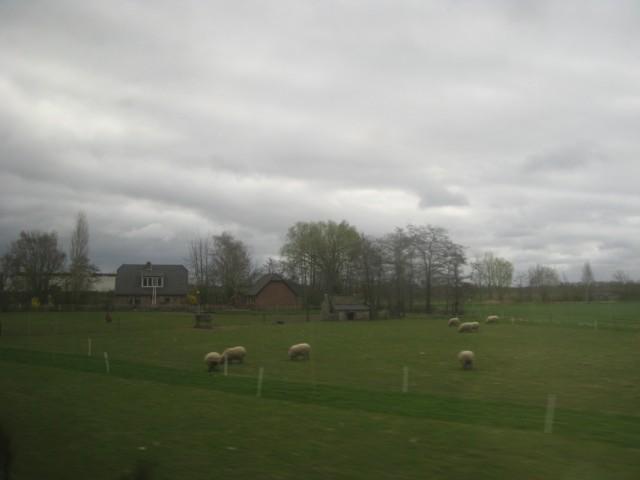 Снова овцы - между Amersfoort и Zwolle