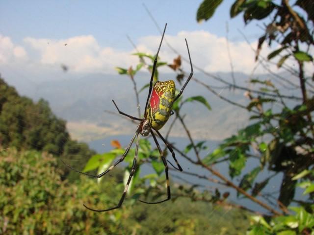 Макура - паук  на непальском языке