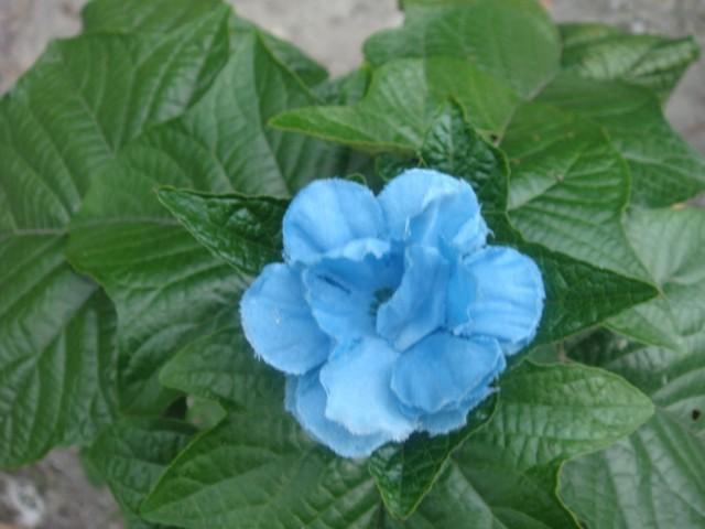 здесь растут голубые цветы